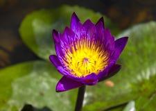 Lotus-bloem Stock Fotografie