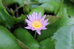 Lotus-bloem. Stock Afbeelding