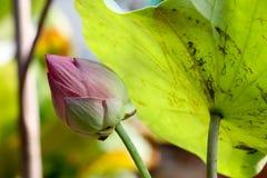 Lotus-bloem aan achtergrond 513 Royalty-vrije Stock Foto