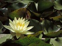 Lotus-bloem in bladeren op een meer royalty-vrije stock fotografie