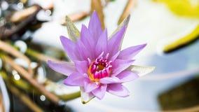 Lotus-bloem in de pool stock foto's