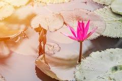 Lotus-bloem in de vijver Stock Afbeeldingen