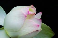 Lotus-bloem die op de vijver bloeien stock afbeelding