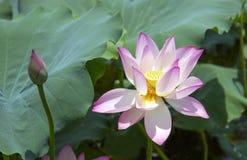 Lotus-bloem en Lotus-bloeminstallaties Stock Foto