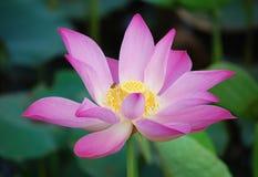 Lotus-bloem en Lotus-bloeminstallaties Stock Afbeelding