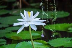 Lotus-bloem en Lotus-bloeminstallaties Royalty-vrije Stock Foto