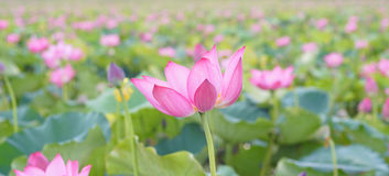 Lotus-bloem en Lotus-bloeminstallaties Royalty-vrije Stock Afbeelding