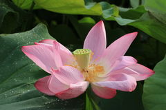 Lotus-bloem en seedpod Stock Fotografie