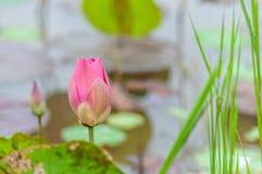 Lotus-bloem het bloeien Stock Afbeelding