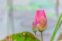 Lotus-bloem het bloeien Stock Foto's