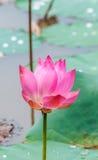 Lotus-bloem het bloeien Royalty-vrije Stock Fotografie