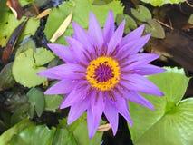 Lotus-bloem het bloeien purple in de tuin stock afbeelding