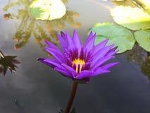 Lotus-bloem het bloeien purple in de tuin royalty-vrije stock foto's