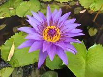 Lotus-bloem het bloeien purple in de tuin royalty-vrije stock fotografie