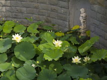 Lotus-bloem in het meer Stock Foto