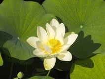 Lotus-bloem in het meer Stock Foto's