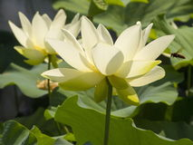 Lotus-bloem in het meer Royalty-vrije Stock Afbeelding