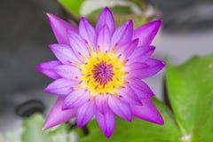 Lotus-bloem lilly purple op water Hoogste mening stock foto