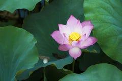 Lotus-bloem in lotusbloemmeer stock afbeelding