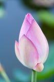 Lotus-bloem in macro stock fotografie