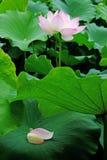 Lotus-bloem met bloemblaadjes Stock Afbeeldingen