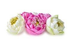 Lotus-bloem, met een witte achtergrond wordt geïsoleerd die royalty-vrije stock afbeeldingen