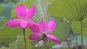 Lotus-bloem in regens stock footage