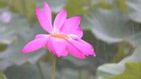 Lotus-bloem in regens stock videobeelden