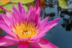 Lotus-bloem in roze purpere violette kleur bijeninsect in stuifmeel met groene bladeren in de vijver van het aardwater sluit omho Stock Foto's