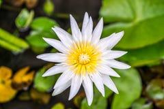 Lotus-bloem (Tropische waterlelie) Stock Fotografie