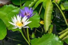 Lotus-bloem (Tropische waterlelie) Royalty-vrije Stock Afbeeldingen