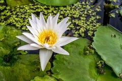 Lotus-bloem (Tropische waterlelie) Royalty-vrije Stock Afbeelding