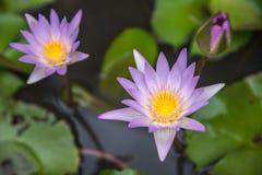 Lotus-bloem (Tropische waterlelie) Stock Afbeelding