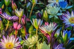 Lotus-bloem (Tropische waterlelie) Royalty-vrije Stock Fotografie