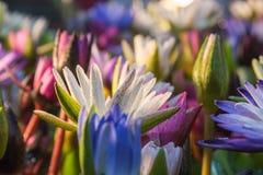 Lotus-bloem (Tropische waterlelie) Royalty-vrije Stock Foto's