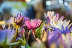 Lotus-bloem (Tropische waterlelie) Stock Afbeeldingen