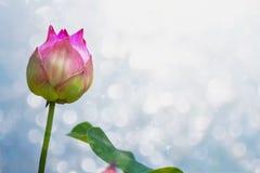 Lotus-bloem van Thailand Royalty-vrije Stock Foto's