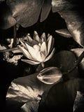 Lotus-bloem in zwart-wit royalty-vrije stock afbeelding