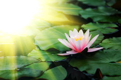 Lotus-bloemachtergrond Royalty-vrije Stock Afbeelding