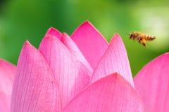 Lotus-bloemblaadje Royalty-vrije Stock Afbeeldingen