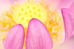 Lotus-bloemblaadje Stock Afbeeldingen