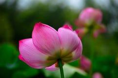 Lotus-bloemblaadje en streep van rood Stock Foto's
