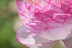 Lotus-bloemblaadjes Stock Afbeelding