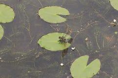 Lotus-bloemblad en libel Stock Foto