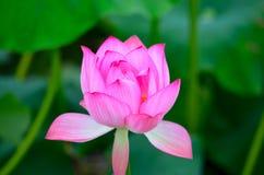 Lotus-bloembloei Royalty-vrije Stock Fotografie