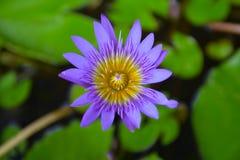 Lotus-bloembloei met bladerenachtergrond (2) Royalty-vrije Stock Afbeeldingen
