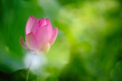 Lotus-bloembloesem royalty-vrije stock afbeeldingen