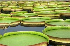 Lotus-bloembloesem Royalty-vrije Stock Foto's