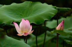 Lotus-bloembloesem op het meer Stock Afbeeldingen