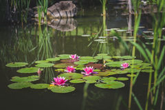 Lotus-bloemen 2 Royalty-vrije Stock Afbeelding